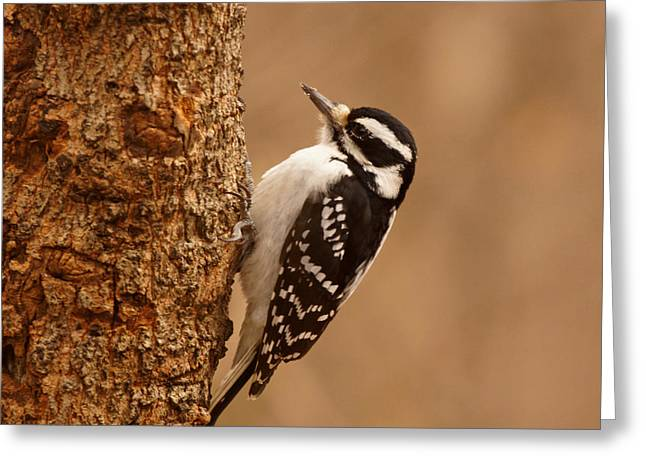 Downy Greeting Cards - Downy Woodpecker Greeting Card by Sandy Keeton
