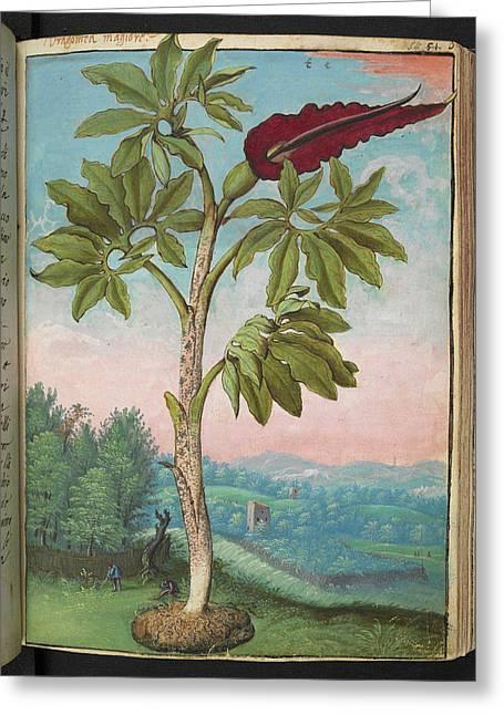 Dragon Arum (dracunculus Vulgaris) Greeting Card by British Library