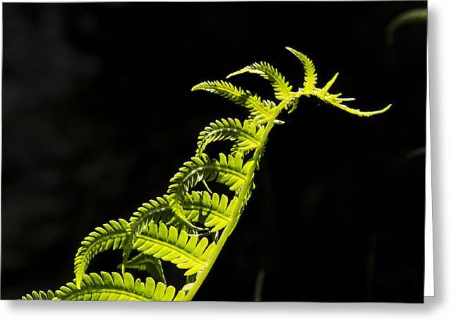 Ostrich Fern Greeting Cards - Dragon Fern Greeting Card by Christopher Burnett
