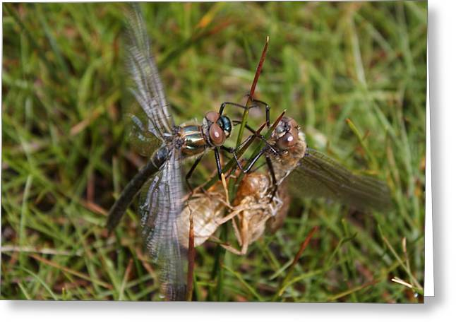 Matting Greeting Cards - Dragon Fly Insect War Greeting Card by Lisa Anne McKee