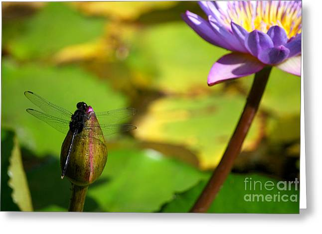 Lilly Pads Greeting Cards - Dragon Fly on Bud and Water Lily Horizontal Number One Greeting Card by Heather Kirk