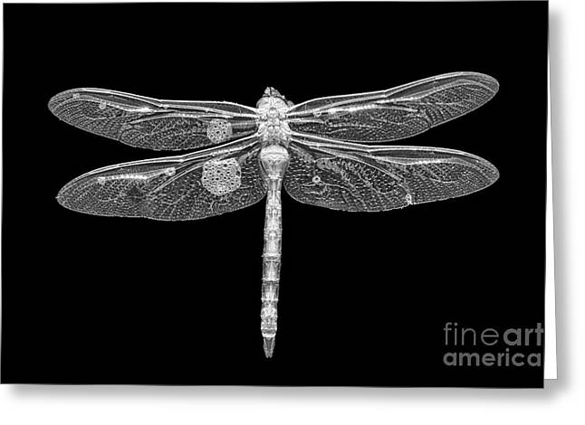 Damsel Fly Greeting Cards - Dragon in Black Greeting Card by Todd Bielby