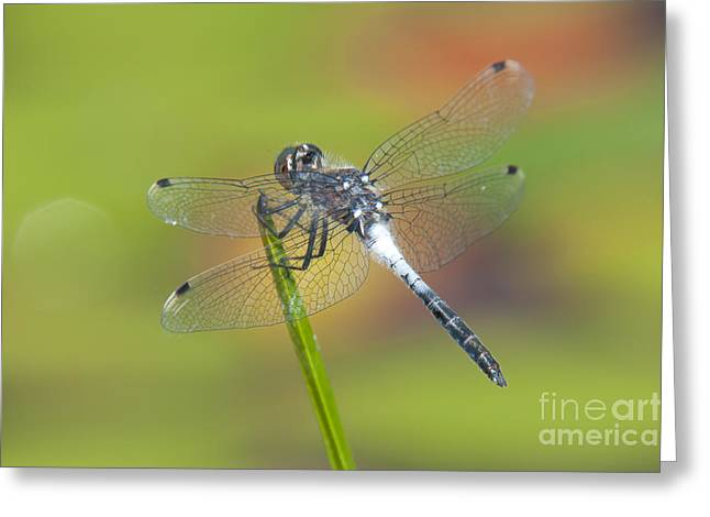 Promised Land Greeting Cards - Dragonfly and Lily Pads Greeting Card by Clarence Holmes