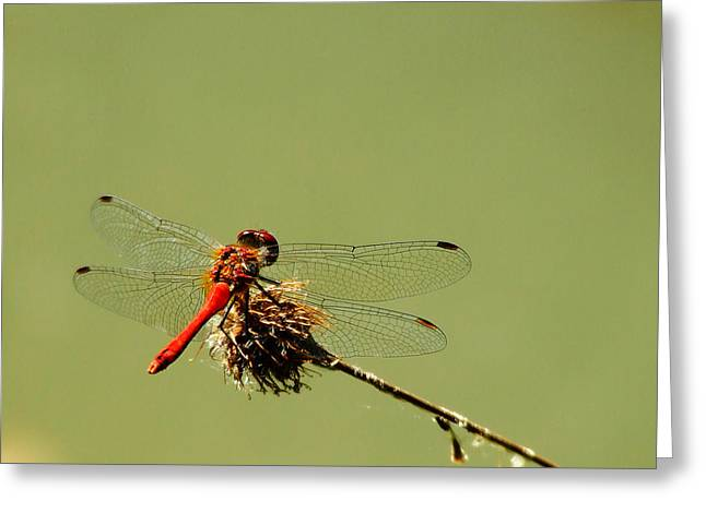 Close Focus Nature Scene Greeting Cards - Dragonfly Greeting Card by Balica  Marius