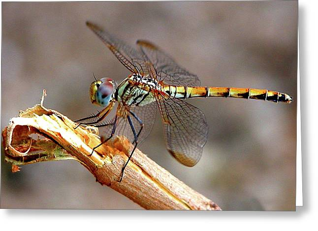 Dragonfly Greeting Card by Graham Taylor