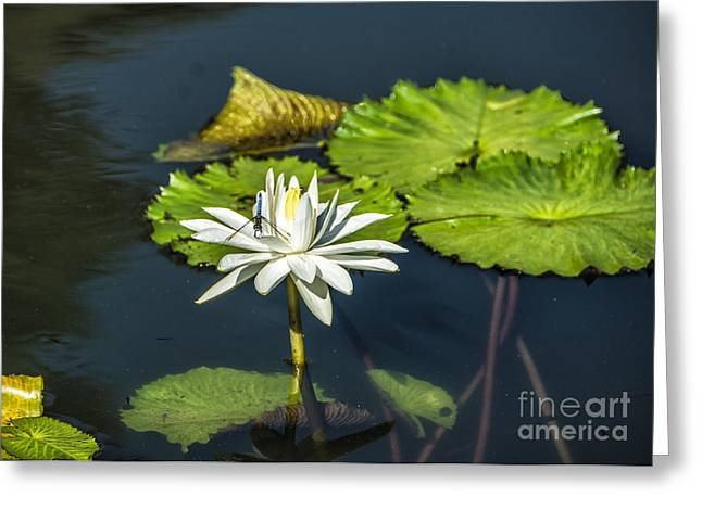 Spiritual Birth Greeting Cards - Dragonfly Kisses a Waterlily Greeting Card by Terry Rowe