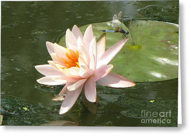 Dragonfly landing Greeting Card by Amanda Barcon