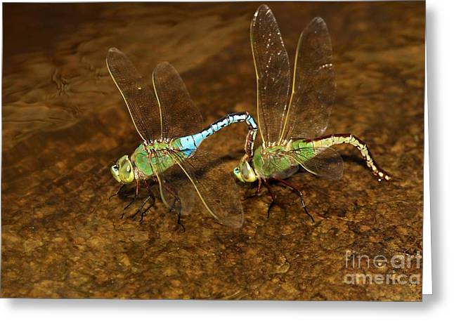 Dragonfly Mates Greeting Card by Adam Jewell