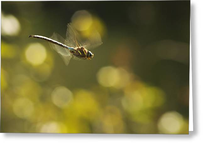 Translucence Greeting Cards - Dragonfly No 2 Greeting Card by Belinda Greb
