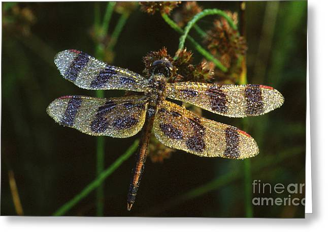 Dew Covered Greeting Cards - Dragonfly Greeting Card by Novastock