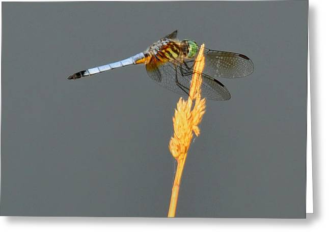 Dragonflies Greeting Cards - Dragonfly on a blade of grass Greeting Card by Chris Flees