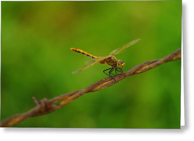 Metal Dragonfly Greeting Cards - Dragonfly On Barbed Wire Greeting Card by Jeff  Swan