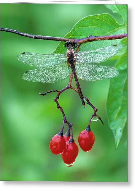 Dragonfly On Branch Greeting Card by Jaynes Gallery