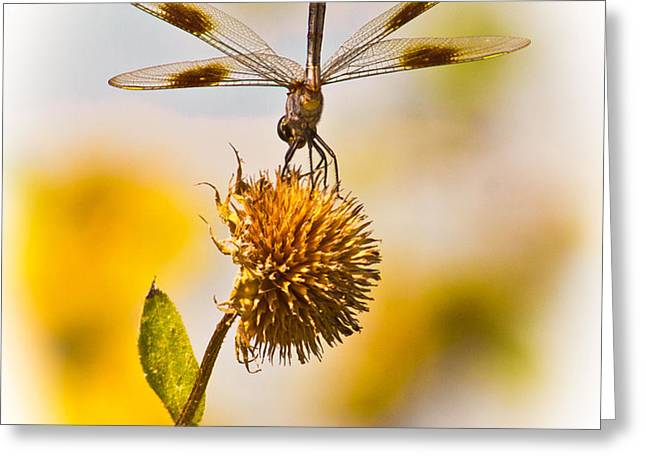 Dragonfly On Dead Bud Greeting Card by Robert Frederick