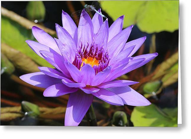 Dragonfly On Water Lily Square Greeting Card by Carol Groenen