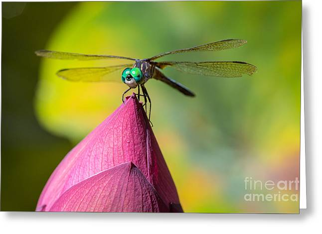 Dragonfly On Waterlily Greeting Card by Inge Johnsson