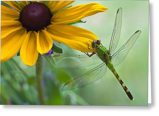 Close Focus Nature Scene Greeting Cards - Dragonfly on Yellow Flower Greeting Card by Dancasan Photography