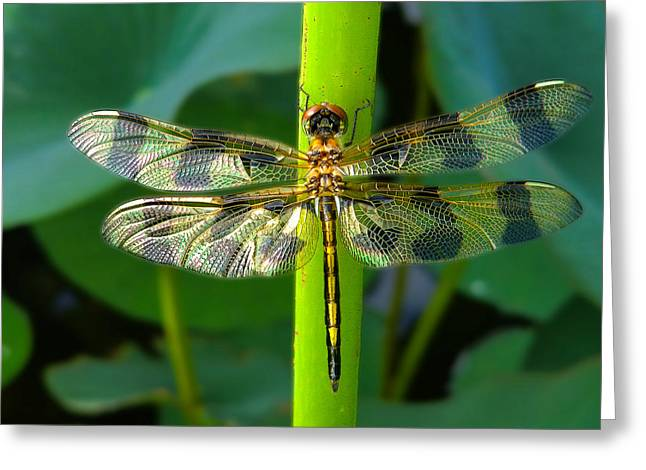 Dragonflies Greeting Cards - Dragonfly Resting Greeting Card by Bob Sober
