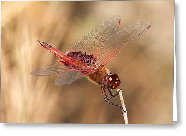 Saddlebag Greeting Cards - Dragonfly Greeting Card by Stuart Litoff