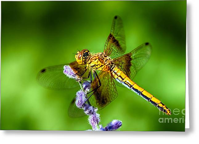 Dragonflies Greeting Cards - Dragonfly Summer Greeting Card by Scotts Scapes