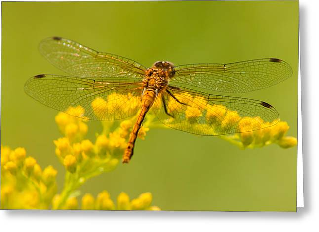 Meadowhawk Greeting Cards - Dragonfly View Greeting Card by Willie McHale