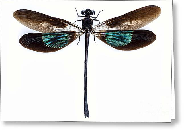 Dragonfly Eyes Greeting Cards - Dragonfly with green and brown wings Greeting Card by Pablo Romero