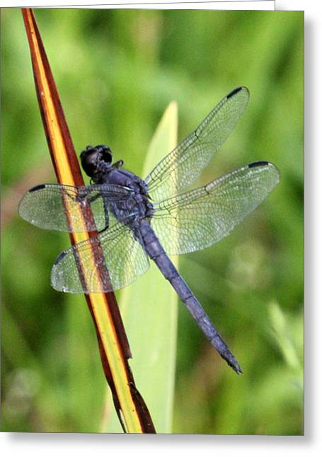 Carolyn Stagger Cokley Greeting Cards - Dragonfly9233 Greeting Card by Carolyn Stagger Cokley