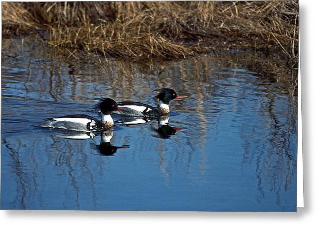 DRAKES A PAIR Greeting Card by Skip Willits