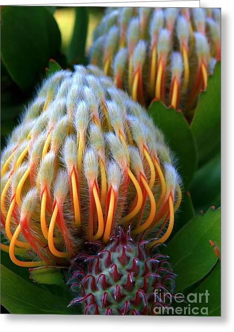Proteas Greeting Cards - Dramatic Protea Flower Greeting Card by Carol Groenen