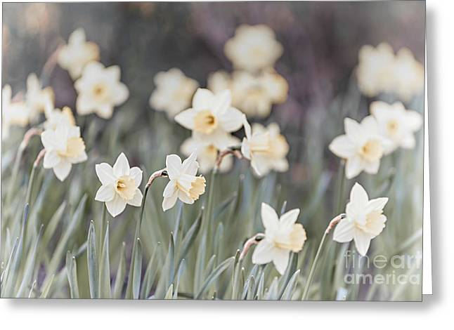Daffodils Greeting Cards - Dreamy daffodils Greeting Card by Elena Elisseeva
