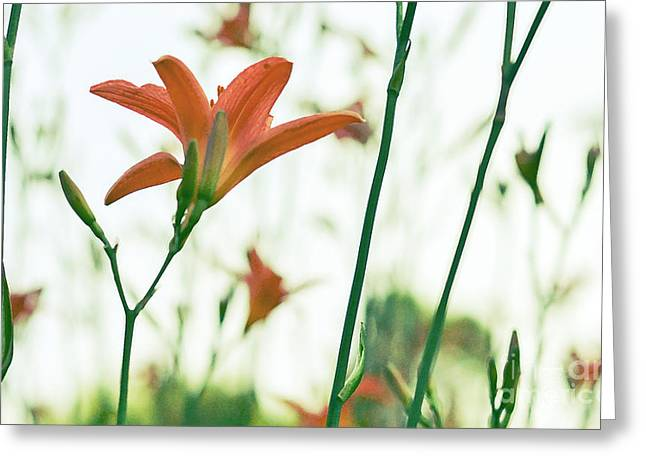 Day Lilly Digital Greeting Cards - Dreamy Day Lily Greeting Card by Miss Dawn