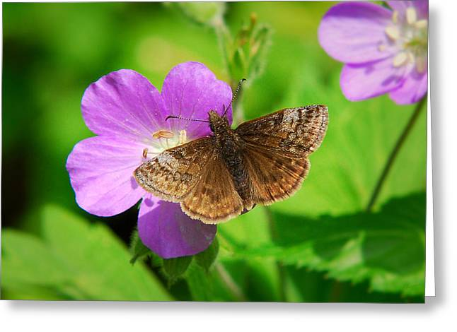 Butterfly On Flower Greeting Cards - Dreamy Duskywing Skipper Greeting Card by Christina Rollo