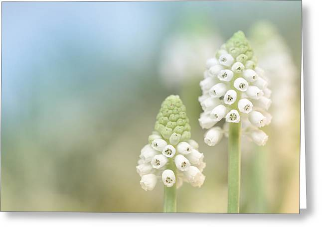 Dreamy Grape Hyacinth.... Greeting Card by Bob Daalder