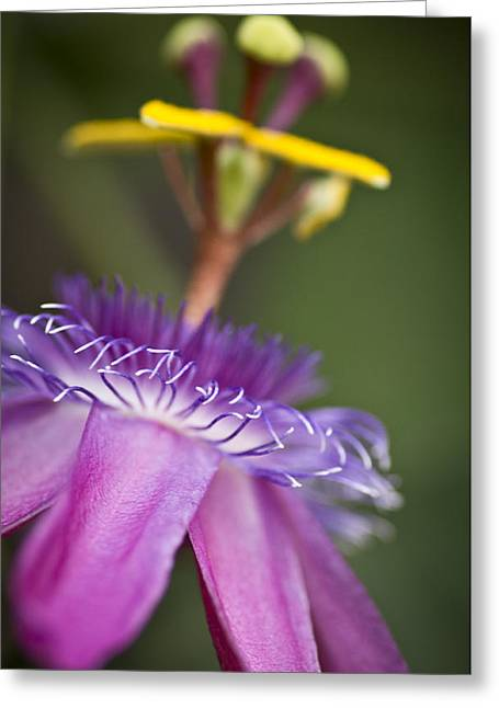 Passionflower Greeting Cards - Dreamy Passion Greeting Card by Priya Ghose
