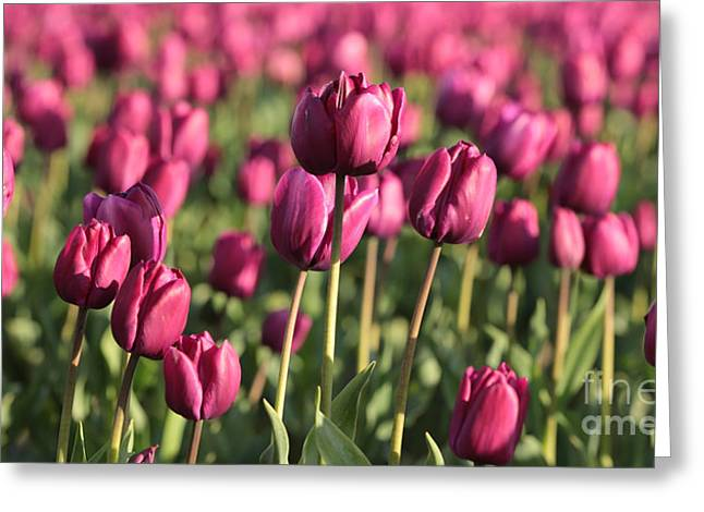 Dreamy Purple Tulips Greeting Card by Carol Groenen