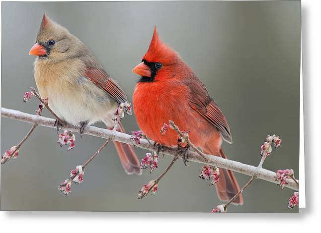 Male Northern Cardinal Greeting Cards - Dreamy Redbirds Greeting Card by Bonnie Barry