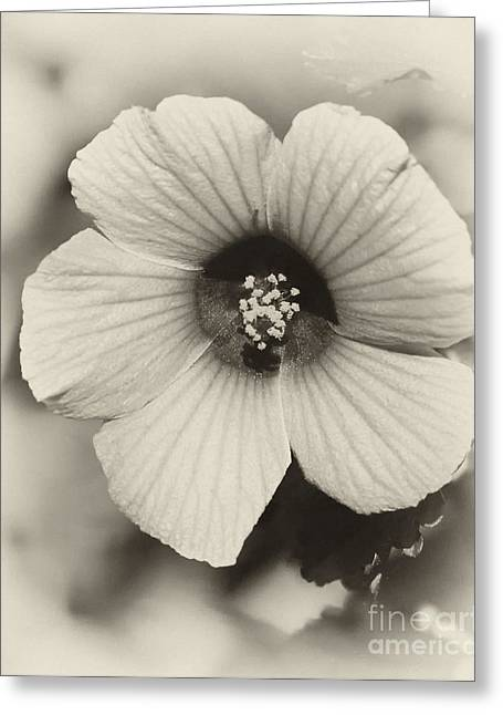 Broward Greeting Cards - Dreamy Sepiatone Rosette Hibiscus Greeting Card by Sabrina L Ryan