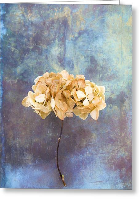 Straps Greeting Cards - Dried Hydrangea Greeting Card by Maria Heyens