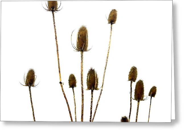 Dried Photographs Greeting Cards - Dried thistle Greeting Card by Bernard Jaubert
