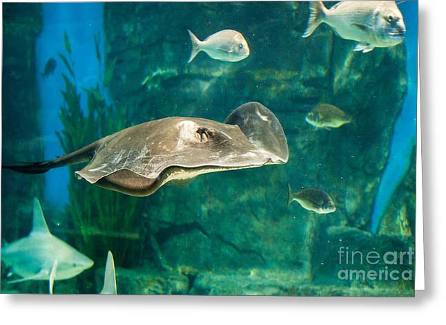 White Shark Greeting Cards - Drifting Through Life Greeting Card by Ray Warren