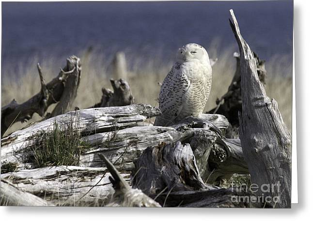 Tim Moore Greeting Cards - Driftwood Owl Greeting Card by Tim Moore