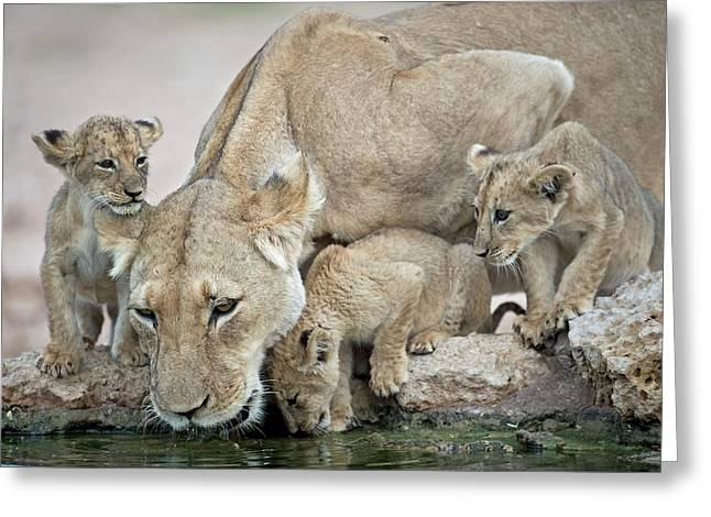 Drinking Lioness With Cubs Greeting Card by Tony Camacho