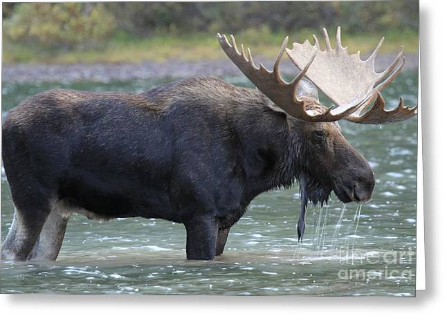 Moose In Water Greeting Cards - Dripping Wet Greeting Card by Adam Jewell