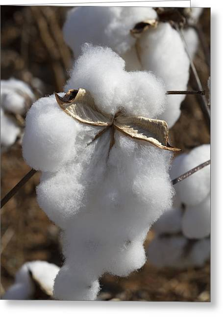 Harvestime Greeting Cards - Dripping With Cotton - Ready For Harvest Greeting Card by Kathy Clark