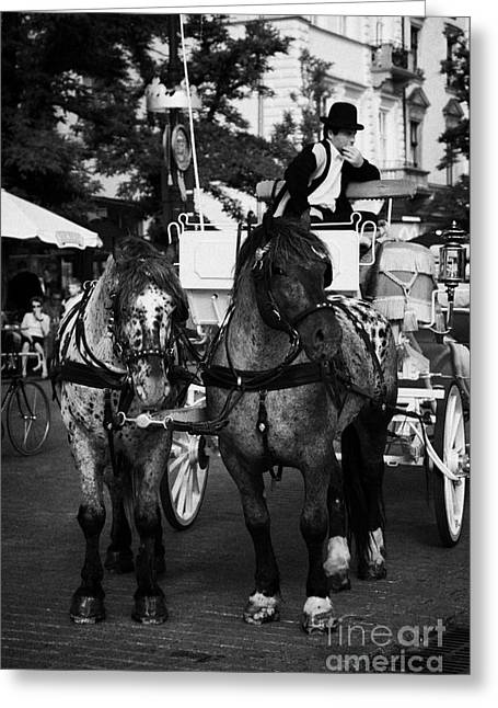 Polish City Greeting Cards - Driver And Grey Horses Tourist Horse Drawn Carriage In Rynek Glowny Old Town Square Stare Miasto Krakow Greeting Card by Joe Fox