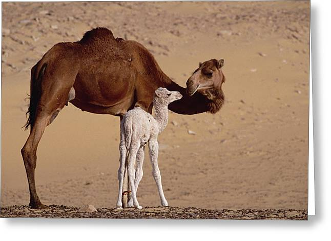 Gerry Greeting Cards - Dromedary Camel And Baby Oasis Dakhia Greeting Card by Gerry Ellis
