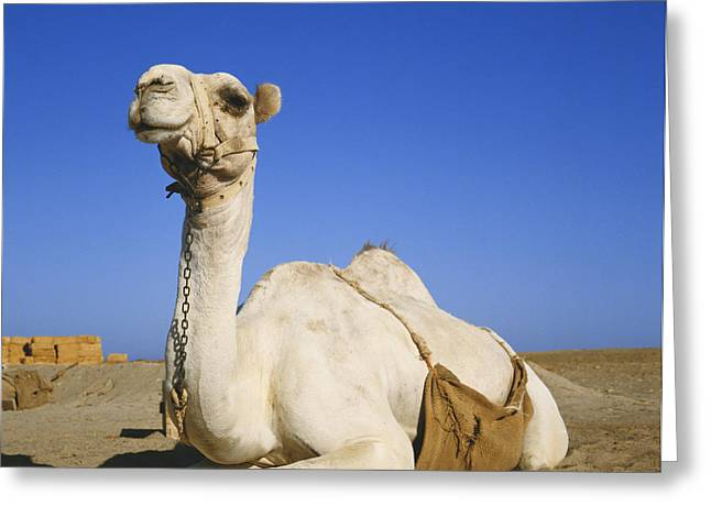 Dromedary Greeting Cards - Dromedary Camel Greeting Card by Marianne Hilgert