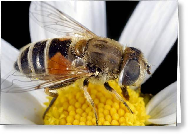 Eating Entomology Greeting Cards - Drone fly feeding on a flower Greeting Card by Science Photo Library