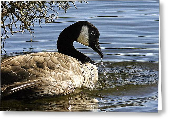 Drooling Canada Goose Greeting Card by Jean Noren