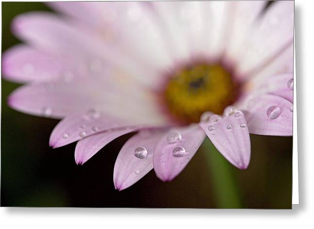 Daisy Greeting Cards - Droplets Greeting Card by Rebecca Cozart